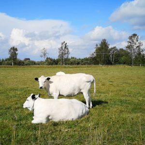 Lehmiä Oma Maan Tuusulan tilalla - kuvituskuvaa